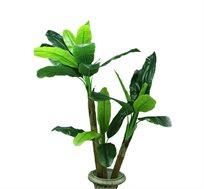 עציץ צמח נוי בננה 3 גזעים