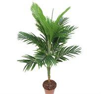 צמח נוי דקל קנציה 14 ענפים