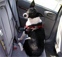 חובה לחגור, גם את הכלבים! סט בטיחות לנסיעה עם הכלב הכולל רצועת בטיחות ורתמת גוף